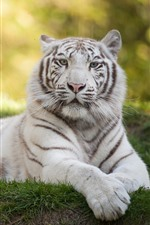 Preview iPhone wallpaper White tiger rest, look, grass, wildlife