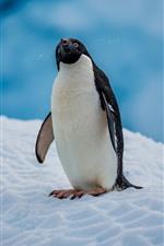 Adelie Penguin, Antártica, Neve