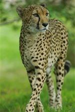 Preview iPhone wallpaper Cheetah walk, front view, wildlife