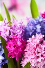 Preview iPhone wallpaper Colorful hyacinths, pink and purple flowers