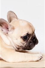 Милый французский бульдог, щенок