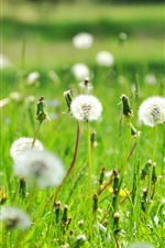 Preview iPhone wallpaper Dandelions, white flowers, summer, nature
