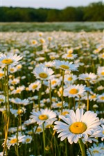 iPhone обои Поле цветов, ромашка, лето