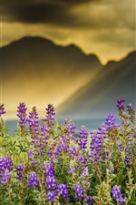 Preview iPhone wallpaper Lavender flowers, sun rays, mountains, fog, morning