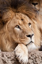 Preview iPhone wallpaper Lion rest, look, mane