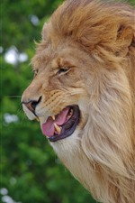 Preview iPhone wallpaper Lion, side view, mane