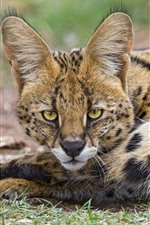 Preview iPhone wallpaper Lynx, wildcat, rest, look, eyes, ears, face
