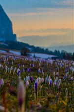 Preview iPhone wallpaper Many crocuses, purple flowers, slope, mountains, fog, morning