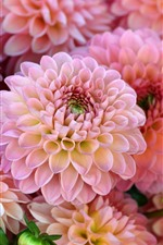 Preview iPhone wallpaper Many pink dahlias, flowers, petals