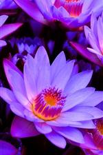 Многие фиолетовые водные лилии, лепестки, пестик