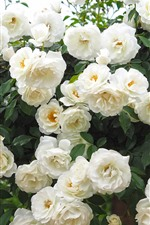 Preview iPhone wallpaper Many white roses, garden flowers