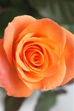 Preview iPhone wallpaper One orange rose, petals, hazy