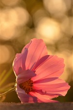 Preview iPhone wallpaper One pink flower close-up, petals, backlight