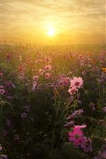 Preview iPhone wallpaper Pink kosmeya flowers, grass, sunset