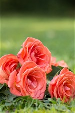 Preview iPhone wallpaper Pink roses, petals, water droplets, grass