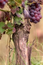 Preview iPhone wallpaper Ripe grapes, tree, fruit