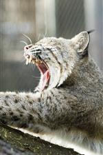 Preview iPhone wallpaper Wildcat yawn, lynx, teeth