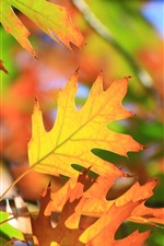 Preview iPhone wallpaper Yellow maple leaves, sunshine, autumn