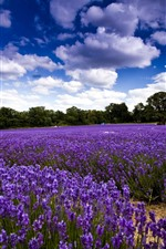 Preview iPhone wallpaper Beautiful purple lavender flowers field, clouds
