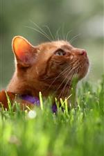 Preview iPhone wallpaper Cat, tomcat, look up, face, grass