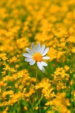 iPhone обои Ромашка, один белый цветок, много желтых цветов