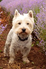 Cute dog and purple lavender flowers