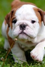 Preview iPhone wallpaper English bulldog, front view, walk, grass