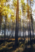 Preview iPhone wallpaper Forest, trees, sun rays, shadow