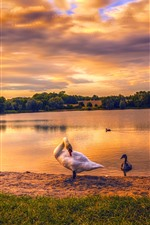 Preview iPhone wallpaper Germany, Berlin, Kaulsdorfer Lake, swans, dusk, sunset