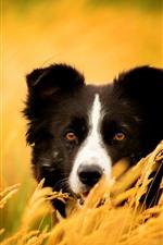 Golden wheat, dog, look