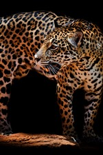Preview iPhone wallpaper Leopard, look back, darkness, black background
