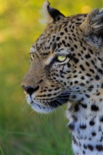 Preview iPhone wallpaper Leopard, portrait, face, eyes, side view, grass