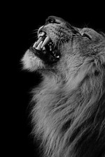 Preview iPhone wallpaper Lion, mane, teeth, face, black background