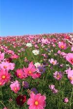 Muitas flores cor-de-rosa Kosmeya, pétalas, primavera