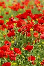 Vorschau des iPhone Hintergrundbilder Viele rote Mohnblumenblumen, Frühling