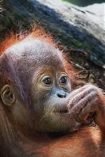 Preview iPhone wallpaper Monkey, wildlife