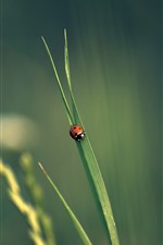 Preview iPhone wallpaper One ladybug, green grass leaf, insect