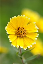 Preview iPhone wallpaper One yellow flower, petals, green background