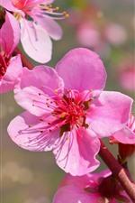 Pink peach flowers bloom, petals, spring, twigs