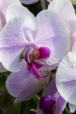 Phalaenopsis rosa, pétalas, gotas de água