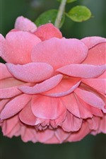 Preview iPhone wallpaper Pink rose, petals, frost, dew