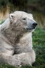 Preview iPhone wallpaper Polar bear, rest, grass