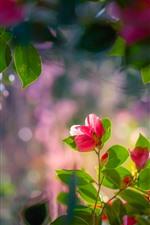 iPhone обои Красная камелия, цветы, листья, веточки