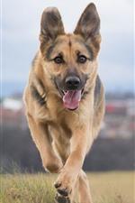 Preview iPhone wallpaper Shepherd dog running, front view, grass
