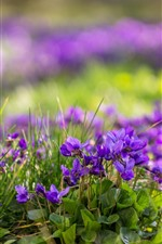 Preview iPhone wallpaper Some purple flowers, green leaves, hazy, spring