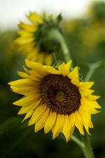 Preview iPhone wallpaper Summer, sunflowers, hazy