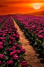 Turkey, purple tulips field, sunset