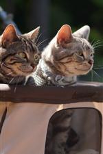 Dois gatos, carrinho de criança