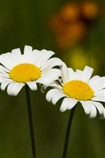 iPhone обои Две белые ромашки цветы