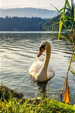 Preview iPhone wallpaper Two white swan, lake, grass, sunrise
